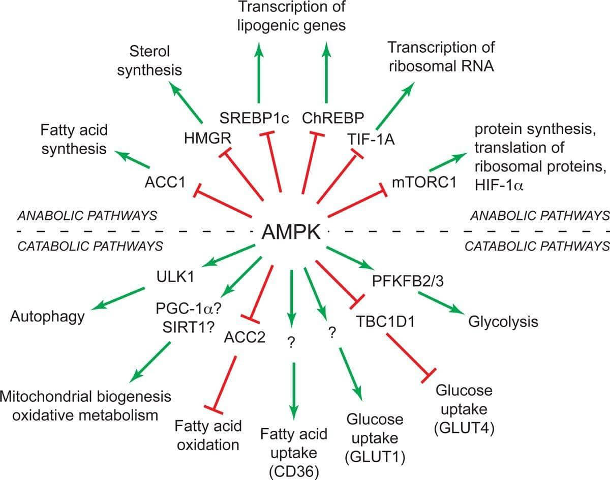 AMPK Overview